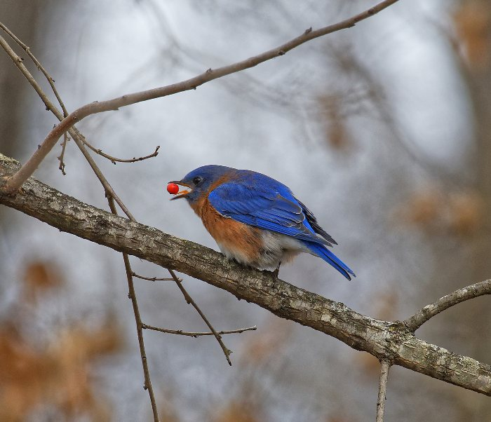 Bluebird sitting on a branch eating a berry