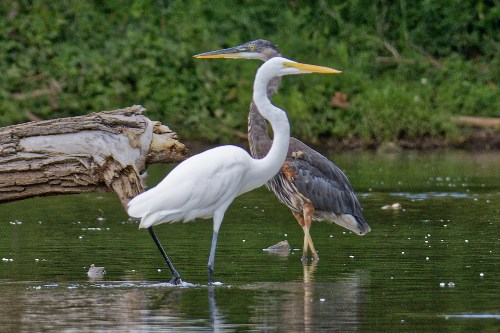 Two long-necked birds facing each other in a river